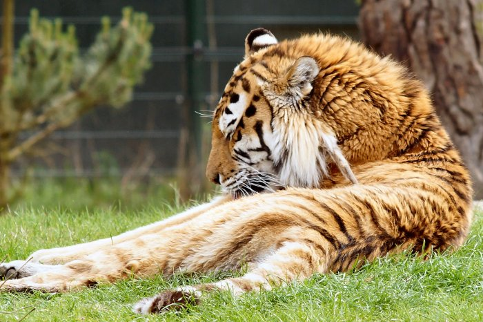 Tiger bei der Körperpflege