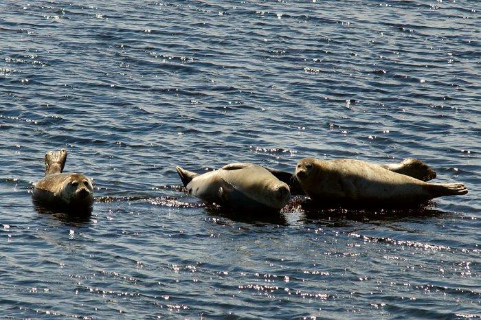 Seehunde beim Sonnenbaden