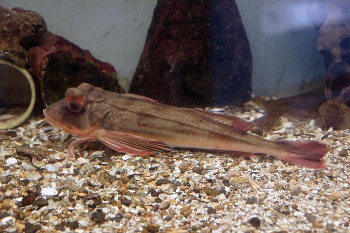 Knurrhahn im Aquarium