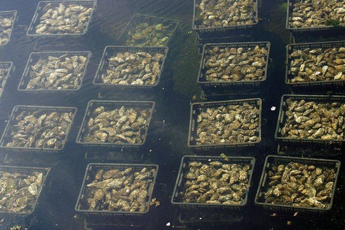 Austern in einem Sammelbecken der Oesterij Yerseke