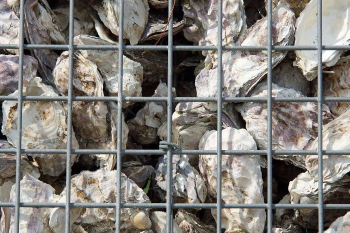 Leere Austerschalen
