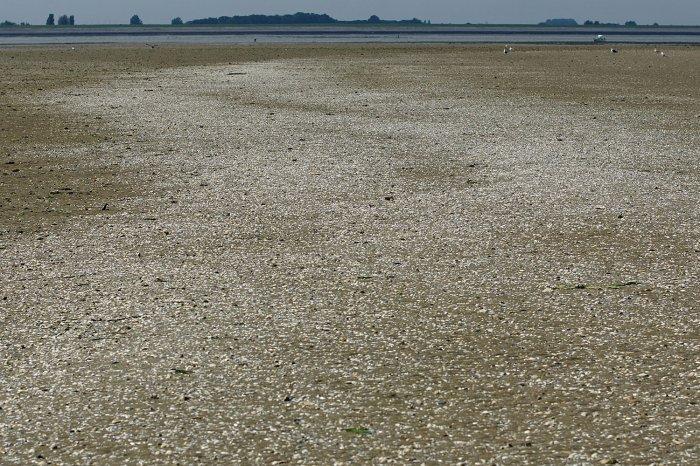 Muscheln auf einer Sandbank in der Oosterschelde