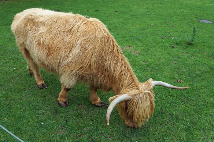 Highland-Cattle-Rind