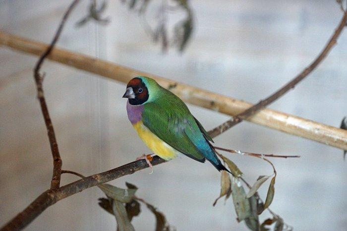 Gouldamadine im Utropia-Vogelpark